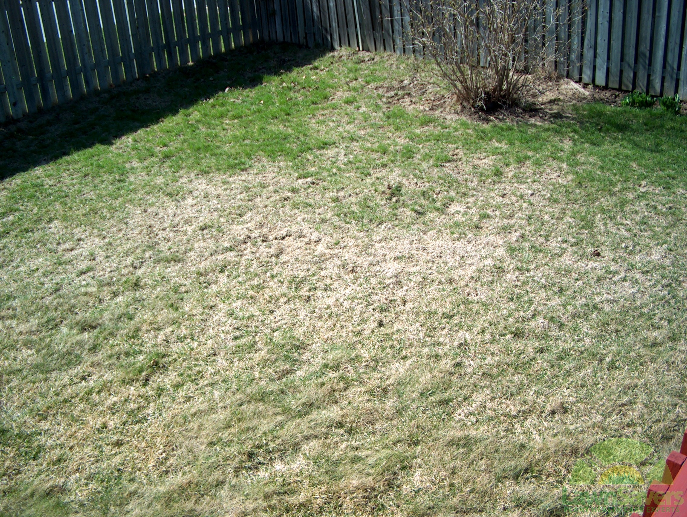 Grub Damaged Lawn