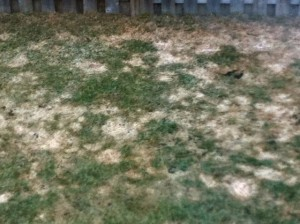 snow mould (snow mold) on a home lawn
