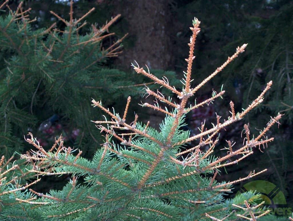 Sawfly-damage-Spruce2_tn lawnsavers