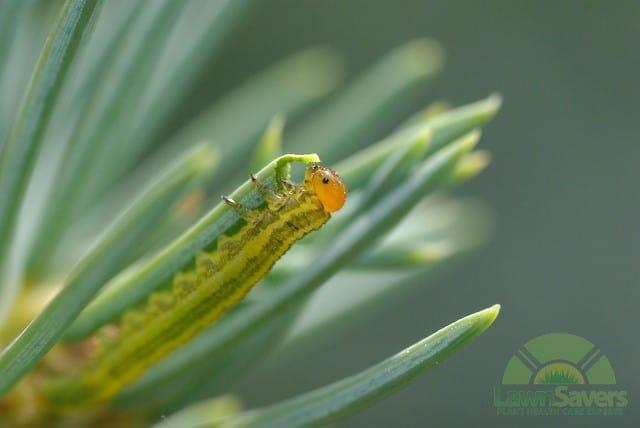 Sawfly larva lawnsavers