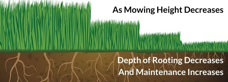 Mowing height affects root depth