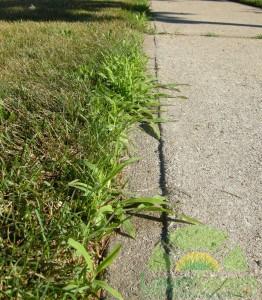 Crabgrass weed along driveway curb