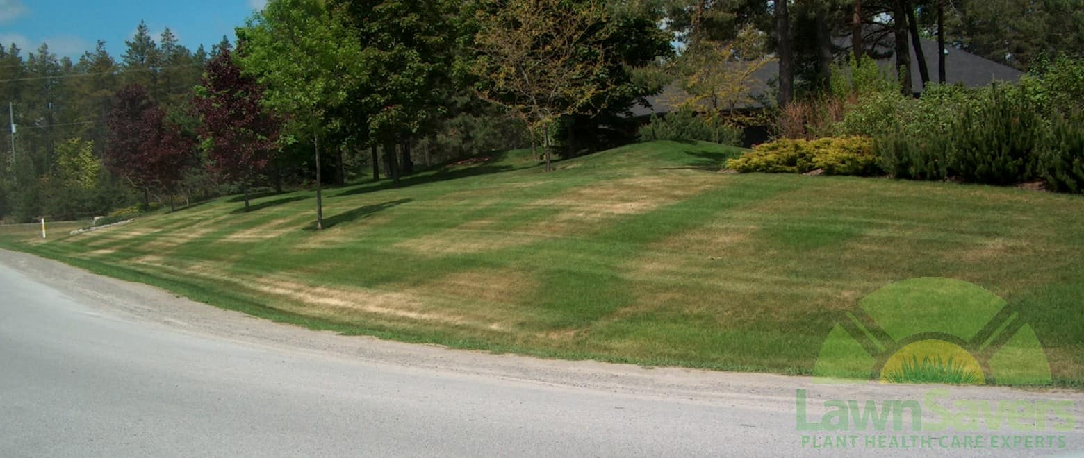 Drought stressed lawn in Markham