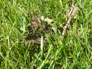 Thistle plant dying after weed killer applied