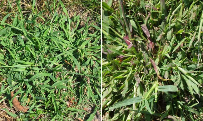 crabgrass weed control lawnsavers