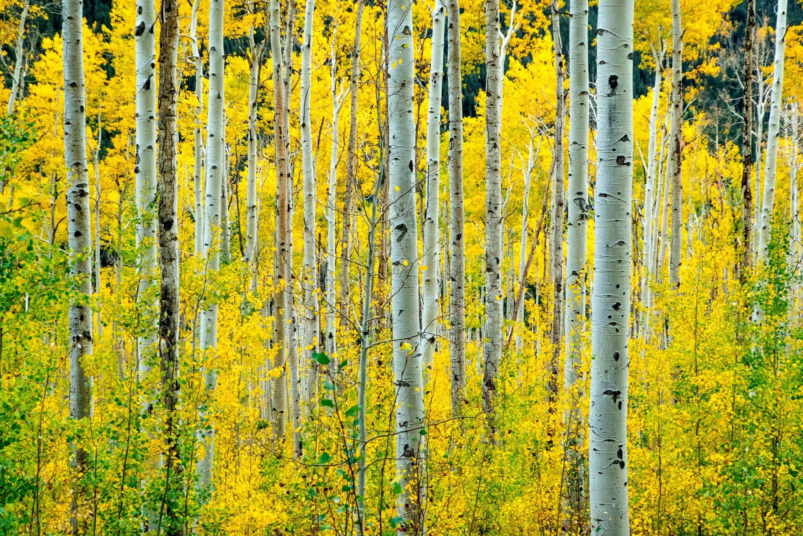 Birch Tree Treatment